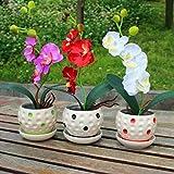 Mymotto 100 Pcs Hermosa orquídea semillas de jardín en casa patio Bonsai plantas adorno Semillas