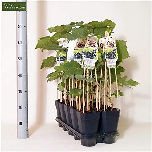 Winterharte rote Weinrebe - Vitis Boskoop Glorie - 60-80cm 2Ltr.
