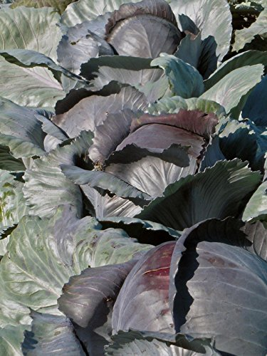 Rotkohl 'Rodynda' (Brassica oleracea) Bio 50 Samen Blaukraut Kappes Rotkabis
