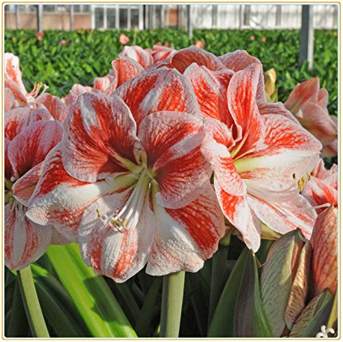 Amaryllis Bulbs-Lovely White and Orange Amaryllis Flowers, Big and Beautiful Flowers, Home Potted Plants-1 Bulbs