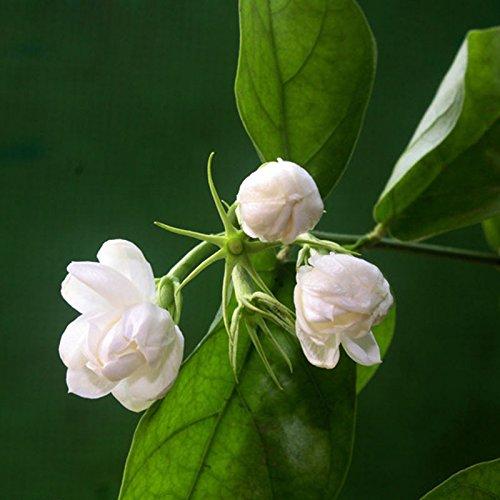 Hot Plants Graines White Jasmine Flower plante odorante Arabian Jasmine Graines Bonsai pot pour Home & Garden 20 pcs / sac