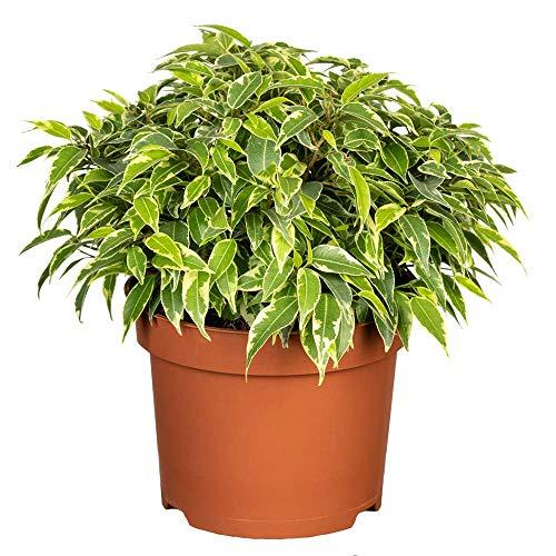 Florado Birkenfeige, Ficus Benjamini, echte Zimmerpflanze, Pflanze, Topfgröße 12cm