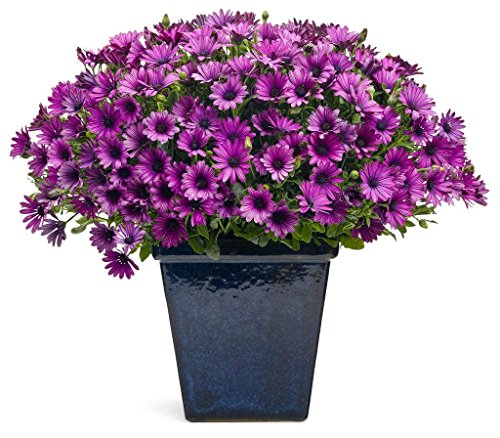 Pinkdose® Pinkdose Blumensamen: Cape Daisy Blumensamen für Korb Küche Garten Samen (17 Pakete) Garten Pflanzensamen von
