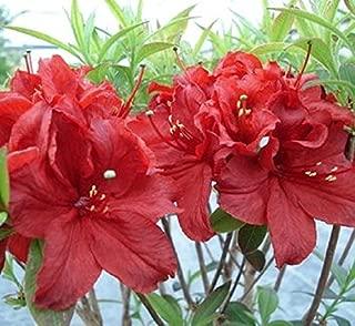 arneson ruby azalea
