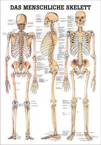 Ruediger Anatomie TA03 Das menschliche Skelett Tafel, 70 cm x 100 cm, Papier