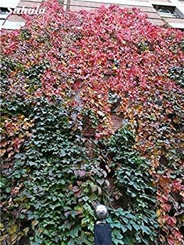 Vistaric Mélanger Boston Graines 100% True Parthenocissus Tricuspidata Semences Plantes D'extérieur Presque Pas De Soins Plante D'escalade Décorative 100 Pcs 10
