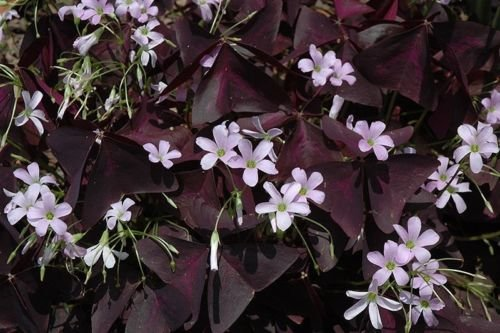 Oxalis Triangularis (10 bulbs) - Purple Shamrocks for Indoors or Out! …