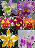 Sale - 3 Large Cattleya Live Orchids Plants