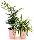 CHAMAEDOREA e CHLOROPHYTUM FALANGIO IN VASO CERAMICA ROSA ANTICATO, PIANTE PURIFICA ARIA, piante vere