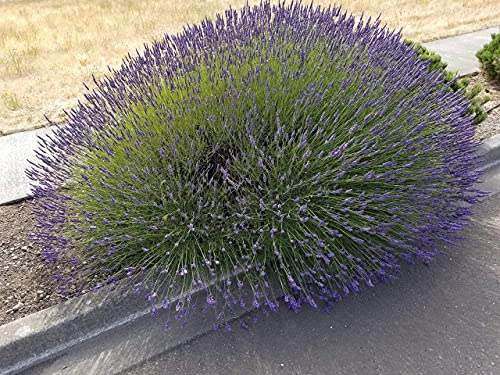 Findlavender Lavender Phenomenal Dark Purple Flowers (2.5QT Size Pot, Bee Friendly, Evergreen Plant , 1 Live Plant)