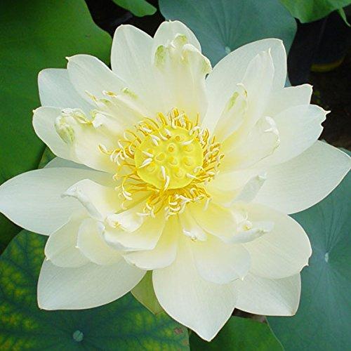花はす[一重咲き系]:クリスタルビューティー4.5号ポット[碗蓮・手乗りハス]