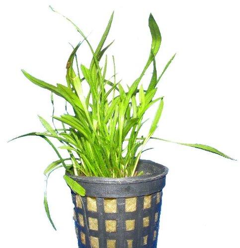 Aquariumpflanzen Echinodorus tenellus, Wasserpflanzen