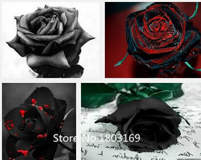 2016 100 Semi Di Rosa Rari Black Rose Fiore Con Red Bordo Raro Della Rosa Fiori Seeds.For Giardino Bonsai Piantare Mix Colors