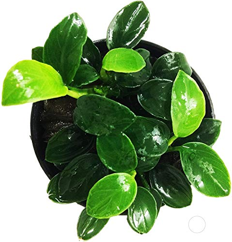 Greenpro Anubias Nana Petite Live Aquarium Plants Fish Tank Decorations Freshwater Plant