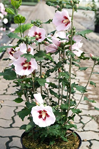Hibiskus rosa Blüte Roseneibisch Hamabo Hibiscus Hamabo Containerware 60-80 cm hoch,
