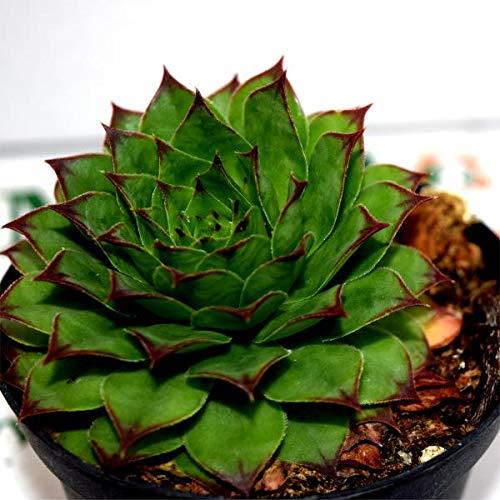 Pianta Grassa Sempervivium calcareum, Vaso 10cm