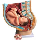 YXDRE Human Female Becken,Pelvis Modell mit Fetus, Abschnitt Schwangerschaft Anatomisches Modell Neun Monate Baby Fetus Modell Life Size Mit Herausnehmbaren Organen
