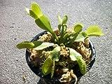 Adult Size Venus Flytrap (Fly Trap) Carnivorous Plant (Dionaea...