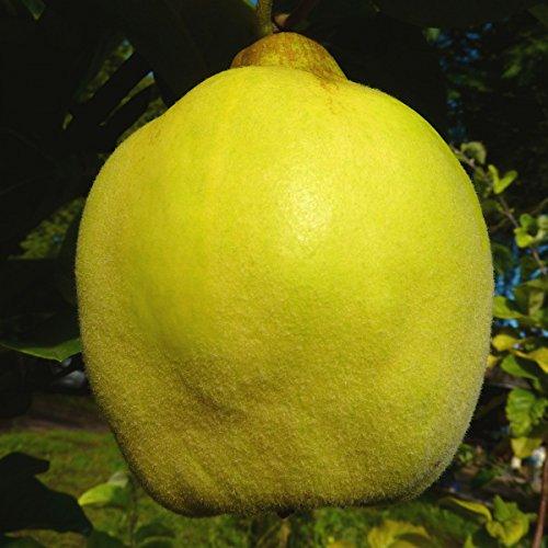Müllers Grüner Garten Shop 1a-plant Tafelquitte Ayva ® süße Shirin Quitte Quittenbaum Buschbaum 60-80 cm Quitte A