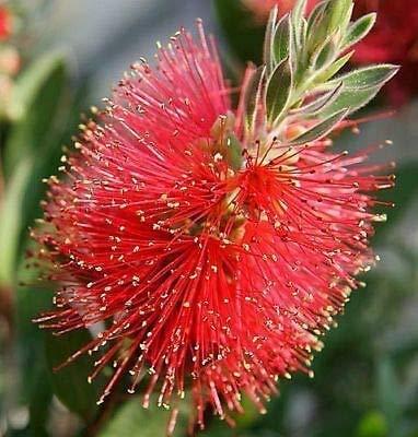 Stk - 100x Callistemon citrinus Zylinderputzer Blumen Pflanzen - Samen B844 - Seeds Plants Shop Samenbank Pfullingen Patrik Ipsa