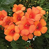 Campsis Garden Climbing Plant Hardy Drought Tolerant Perennial Exotic Flowers for Trellis, Fences & Walls Variety Trumpet Vine Indian Summer 1 x 2 Litre Pot by Thompson & Morgan
