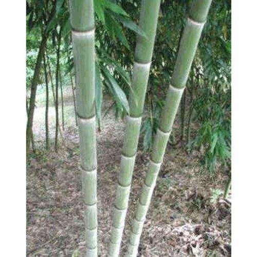 graines de bambou géant MOSO Phyllostachys pubescens USA Vendeur 50pcs