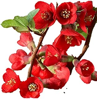 texas scarlet quince