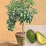 Portal Cool 10pcs raras semillas de aguacate Mini Bonsai fruta tropical del árbol de flores de jardín Plantsn