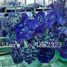 50Pcs /Bag Caladium Seeds Perennial Flowers for The Garden and Home Beautify in Balcony Seeds : 14