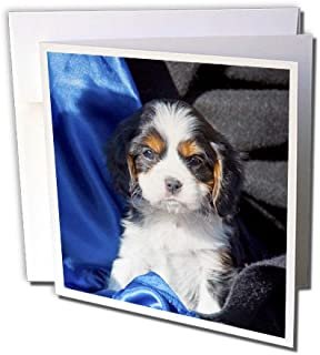 A Cavalier King Charles Spaniel puppy dog - Greeting Card, 6 x 6 inches, single (gc_88791_5)