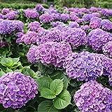 Enticerowts Seeds Lot de 20 graines d'hortensia pour la maison, le bureau, le jardin, le bonsaï, cultiver vos propres plantes – Graines d'hortensia bleu violet clair