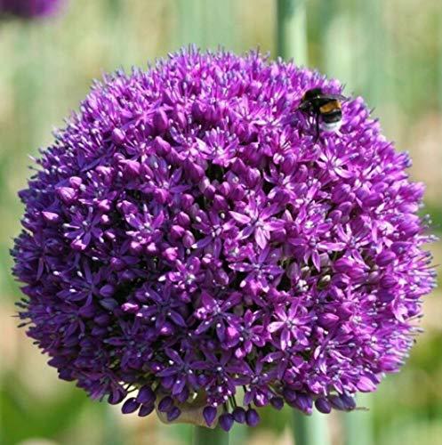 5 X Allium Gigante AMBASSADOR - Bulbi Allium - Ø 32 (5)