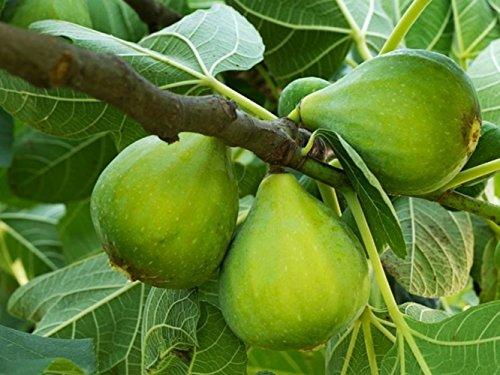 FICO SIMILE-FICUS CARICA- VERDE DOTTATO- albero da frutto da esterno pianta vera