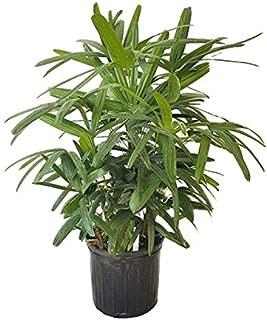 PlantVine Rhapis excelsa, Lady Palm - Large - 8-10 Inch Pot (3 Gallon), Live Indoor Plant