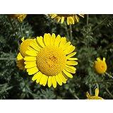 Fnho Semillas de Flores Multicolores,Maceta para Plantas de jardín/Interiores,Semillas Florales de manzanilla, Planta en maceta-500 Granos