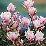 Portal Cool 1 X Magnolia soulangeana Saucer Magnolia arbusto deciduo Hardy pianta in vaso