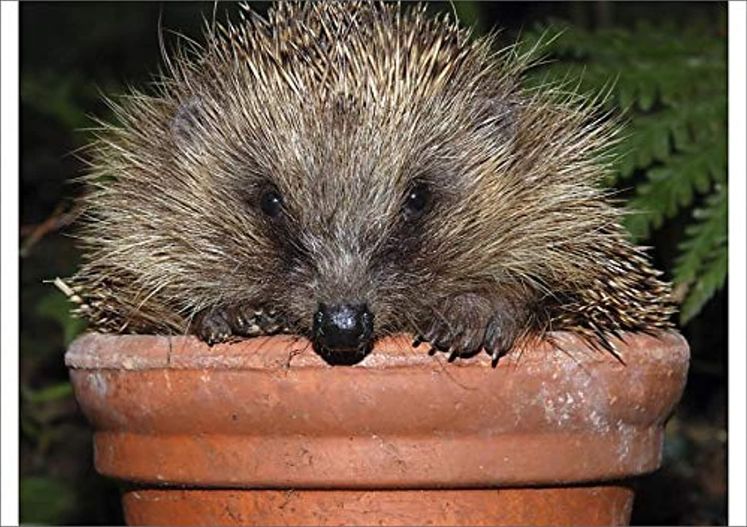 Media Storehouse A1 Poster of Hedgehog - in pot in garden (648782)