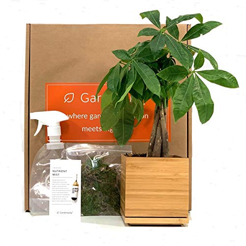 Money Tree Plant in Bamboo Planter, Indoor or Outdoor, Pachira Aquatica, Gift