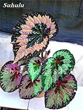 VISTARIC 14: Japon Bonsai Annona Corossol Graine Heirloom Annona Graine de plantes en pot Juicy Fruit Succulent Graine Rare Outdoor vivace Arbre 5 Pc 14