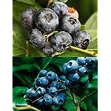 世界最大ブルーベリーセット[チャンドラー+ブルークロップ]寒冷地向けハイブッシュ系ブルーベリー苗木 すべて揃ってます6点セット