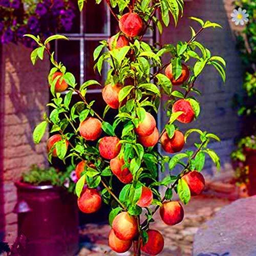 seedsown Plantas melocotón Dulce, melocotón Rojo otoño árbol frutal Planta de Interior Bonsai DrawF 10 Piezas