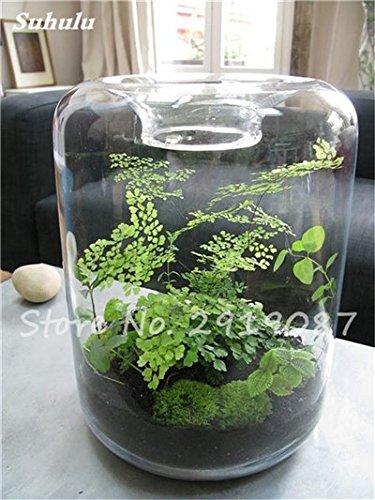100 Pcs rares mousse verte Graines exotiques Graines Bonsai Moss Belle Moss Boule décorative Jardin créatif herbe Graines Plante en pot 18