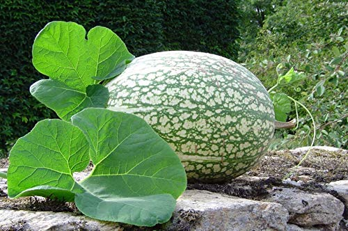 Shark Fin Squash/Melon, Gom bo Seeds - AkA,Malabar gourd, Seven Year melon (10 Seeds)