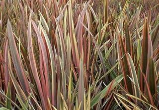 Phormium Rainbow Stripe jocad (20 Seeds)