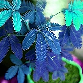 Lioder Sensitive Plant Seeds Mimosa Pudica Moving Plant Shy Plant Shameful Plant Seeds Bonsai Plant Home Garden Touch-me-not (50pcs, Blue)