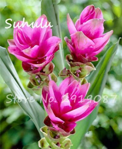 50 PC Raras Cúrcuma La cúrcuma Semillas Semilla Alimentación Condimento antibiosis interior en macetas de Bonsai s Healthy Garden