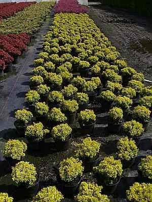Berberis thunbergii Tiny Gold (R) 15-20 Gelbe Zwergberberitze