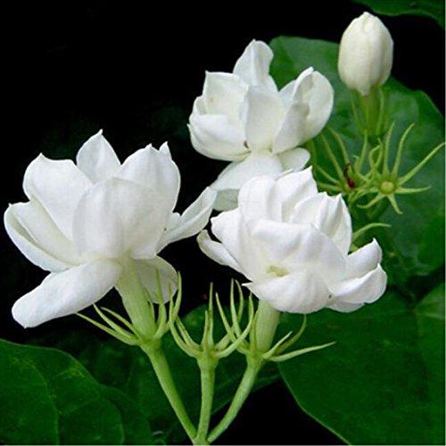 10 Samen / pack Jasmin Samen Indoor-Pflanzen ausdauernde Blumensamen