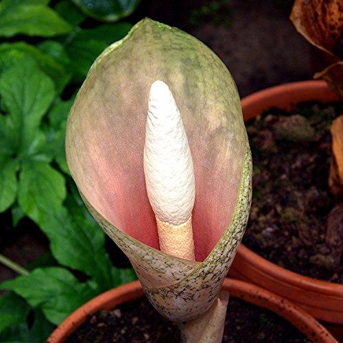 Amorphophallus Bulbifer, Teufelszunge, Voodoo Lily, 10 Samen