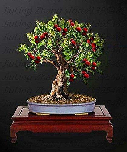 5pcs heißen Verkauf Litschi Samt seltene Riesen-rote chinesische süße Fruchtsamen Bonsai Pflanze Kirsche grün Haus & Garten